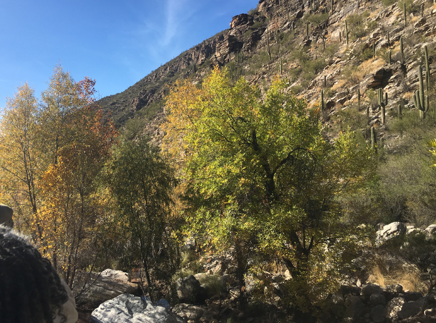 Fall colors abound with vivid yellow tees throughout  Sabino Canyon.