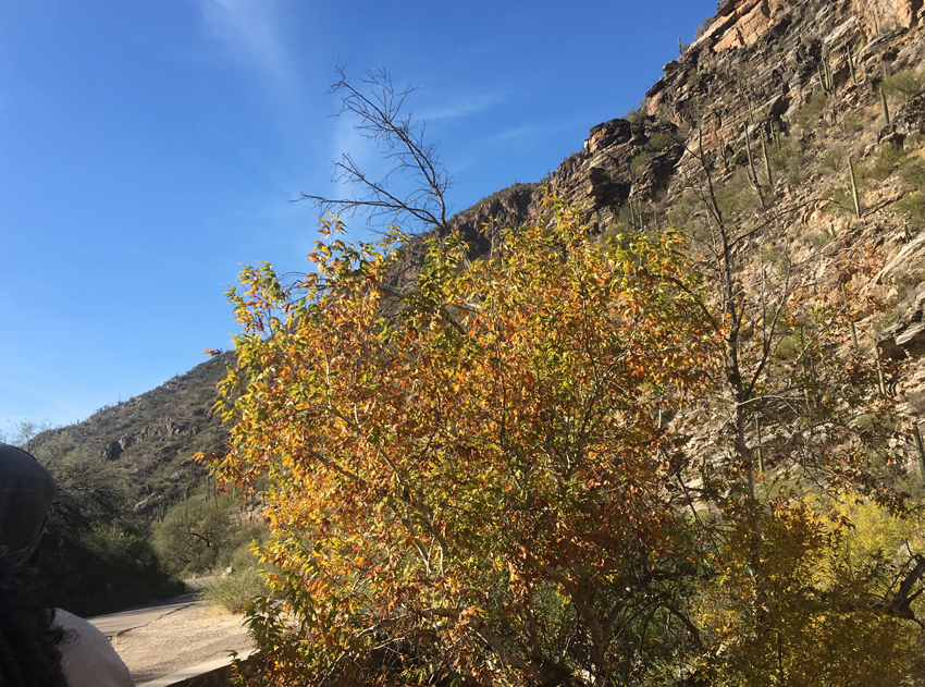 Glowing yellow trees with rocky backdrop of the Sabino Canyon wall.